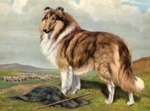 collie body