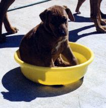 puppy in the food bowl